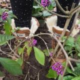 aanstampen van de grond bij planten struik jelka van houten bij buitengoed de gaard