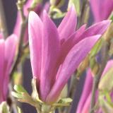 afbeelding suus magnolia