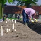 aspergesteker op veld