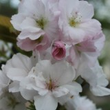 bloesem huub stapel boom buitengoed de gaard