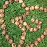 buitengoedse gladiolenbollen van boer jos sloot en dycke van de wal