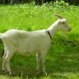 de groote peel, de geit van janneke uit het boek 'weg uit de peel' van jacques vriens