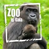 gaiazoo-gorilla-met-jong-zoo-is-gaia