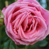 hartsvrienden roos geplant door vera mann, maike boerdam, jim bakkum, guido spek e.a. bij buitengoed de gaard