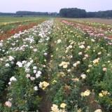 lottum rozenvelden