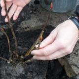 mariska van kolck plant mammaloe hortensia voor rett bij mammaoewagen buitengoed de gaard
