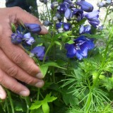 richard groenendijk plantte liefdevol blauw ridderspoor voor gastvrouw-ridder-oranje-nassau-  anja versteeg-peters bij buitengoed de gaard
