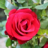 rode roos van de liefde anne-marie jung