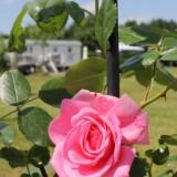 roos geplant door elise schaap en wouter de jong bij  mammaloe-pipowagen superdeluxe bij buitengoed de gaard limburg