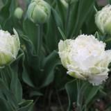 sander janson 'snow chrystal' tulpen bij buitengoed de gaard
