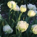 sander janson 'snow chrystal' tulpen bloeien bij buitengoed de gaard