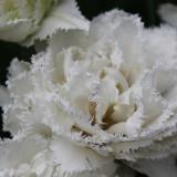 'snow chrystal' tulp geplant door sander janson bij buitengoed de gaard orchard of fame
