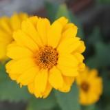 zonnebloemen geplant door tibor lukács en hadewych minis bij buitengoed de gaard