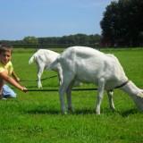 wandelen met geiten in weiland bij pipowagen superdeluxe