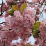 voorjaarsbloesem bij mammaloewagen -vakantiehuisje op wielen  buitengoed de gaard