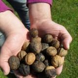 jon van eerd noten-notenboom- geplant bij buitengoed de gaard