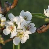 mike weerts perenboom bij buitengoed de gaard